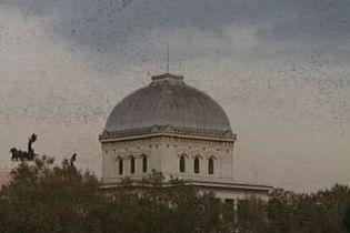 Рим тероризує зграя птахів (відео)