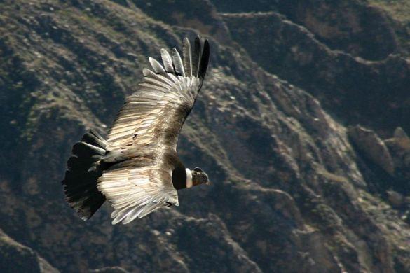 Кондор (Фото: Wikipedia)