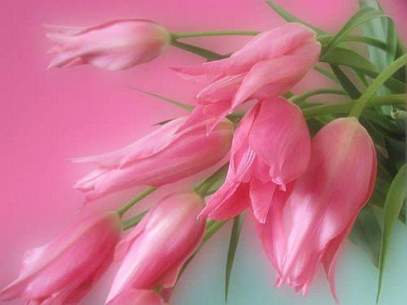 Букет тюльпанів (Фото: dvpogoda.ru)