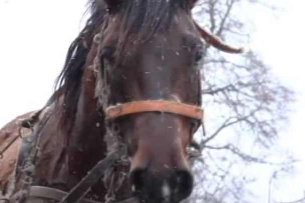 На Тернопільщині коні затоптали свого господаря насмерть