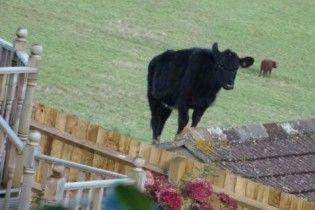 В Англії корова встрибнула на двометровий дах
