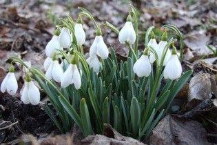Через теплу зиму в Криму зацвіли проліски