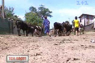Більше 100 тисяч корів в Україні щороку гинуть від лейкозу