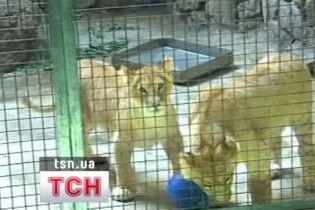 У Київському зоопарку відкривається експозиція молодих левів