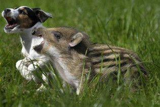 У Китаї дві собаки захворіли на свинячий грип