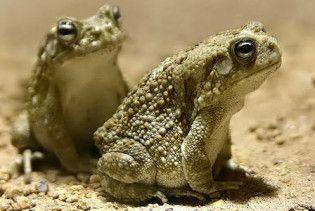 Вчені виявили у жаб здатність передбачати землетрус