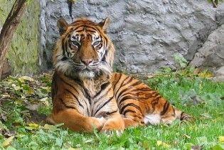 В РФ 8 тигрів і левиця замерзли на смерть під час транспортування на новорічне шоу