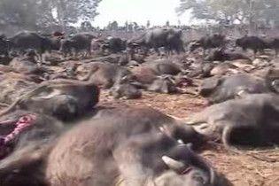 На фестивалі в Непалі вб'ють 200 тисяч тварин для богині
