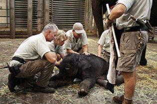 Слоненя, яке померло в утробі матері, з'явилося на світ живим