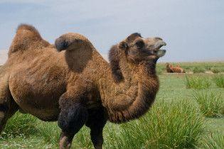 Російський крематорій купив верблюда для заспокоєння відвідувачів