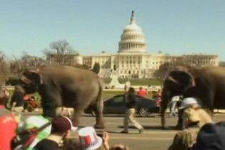 Стадо слонів пройшлося головними вулицями Вашингтона