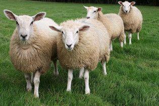 В Туреччині півсотні овець здійснили масове самогубство
