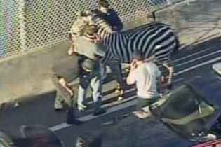 Циркова зебра паралізувала Атланту на кілька годин