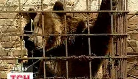 Ведмеді в полоні
