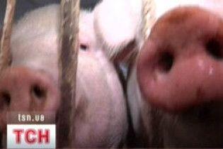 Свиням надаватимуть ідентифікаційний номер