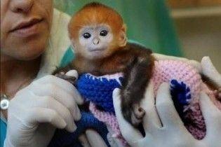 В сіднейському зоопарку народилась мавпочка рідкісного виду
