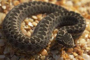 В Криму зафіксували нашестя змій