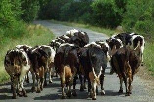 Головним шосе Естонії бродить стадо корів