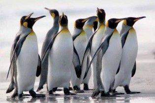 Вчені відстежуватимуть пінгвінів з супутника за їх послідом
