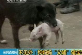 На одній із ферм в Китаї собака всиновив порося