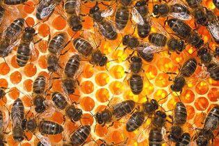 У британської королеви поцупили півмільйона бджіл