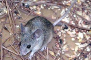 Китайці знищили мільйони мишей
