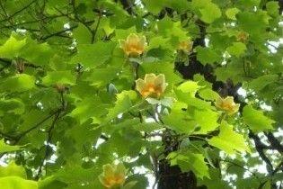 У Києві зацвіли тюльпани на дереві, які пахнуть шоколадом