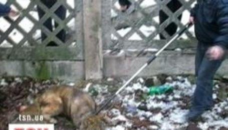 У Києві спіймали вовка