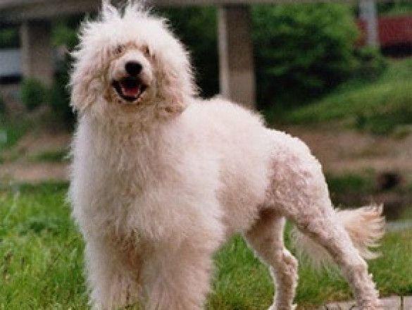 португальський водний собака