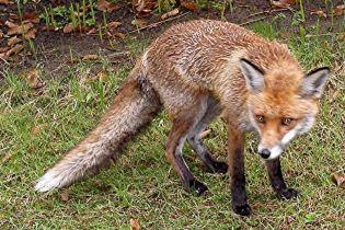 Черкаси тероризує дика лисиця (відео)