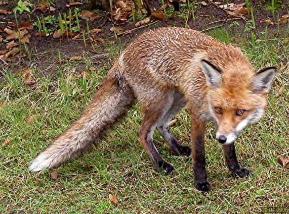Скажена лисиця