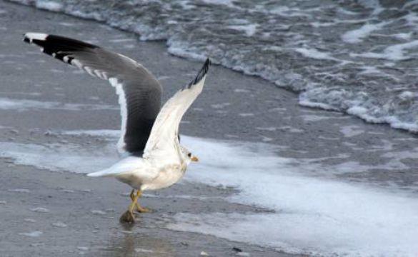 Чайка на морі в Одесі