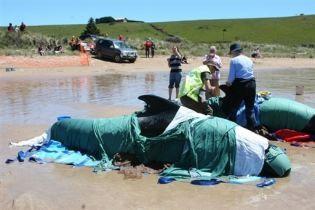 На береги Австралії викинулися 64 кита (відео)