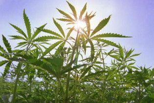 У США поліція конфіскувала марихуану на мільярд доларів