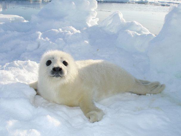 За два дні в Канаді вбили понад 17 тисяч тюленів