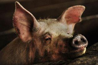 """Американська свиня підчепила """"свинячий грип"""" від людини"""