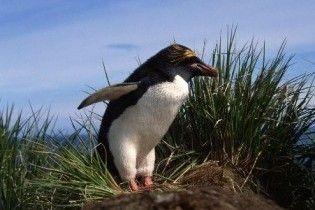 Вчені розкрили таємницю пінгвінів