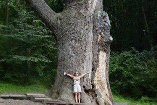 В найстарішого дуба України з'явився правнук