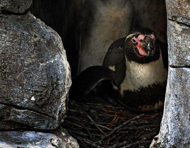 Пінгвини-геї висиділи яйце та виховують пташеня