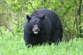 Чорний ведмідь напав на групу туристів в Японії
