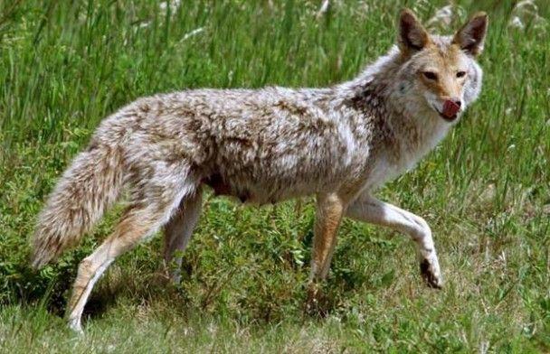 Юну канадську зірку фолк-музики загризли койоти
