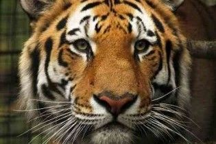 Росія подарувала Південній Кореї уссурійських тигрів через помилку перекладача