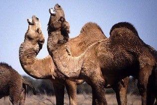 Австралійці навчились заробляти на нашесті верблюдів