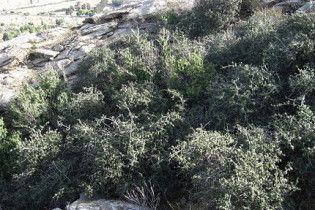 Знайдено найстарішу рослину на Землі, яка клонує себе вже 13 тисяч років