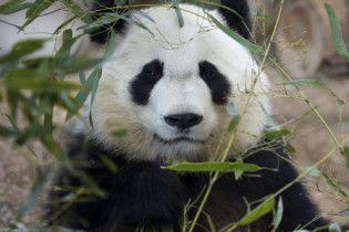 Великій панді зі США шукають вчителя китайської мови