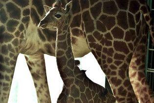 Норвежець зібрав понад мільйон зображень жирафа