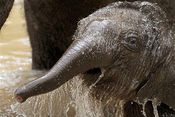 Слоненя Бейб і носоріжка Манас