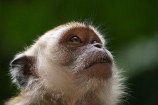Американські вчені випадково підсмажили 30 піддослідних мавп