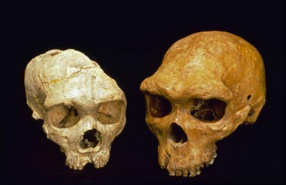 Черепи неандертальця та Гейдельберзької людини