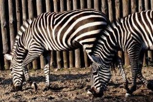 У Київському зоопарку самець зебри помер від вигляду двох самок